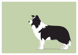 イヌ:ボーダーコリー